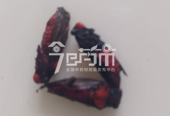 红娘虫的功效与作用以及红娘虫图片