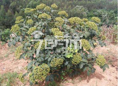 吴茱萸种植与产量以及吴茱萸图片