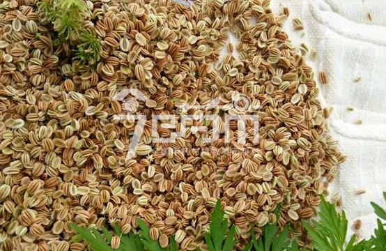 蛇床子种子价格行情与蛇床子图片