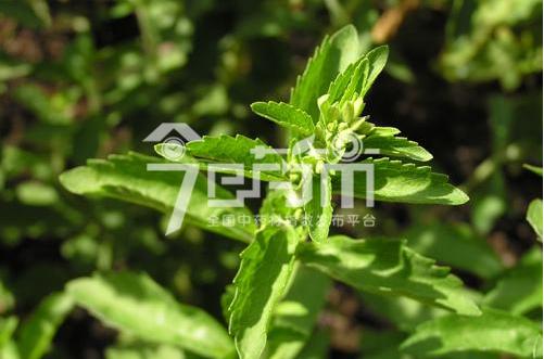 甜叶菊种子价格与播种技术以及甜叶菊图片