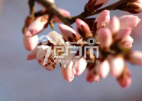 碧桃干图片:山桃4月花期