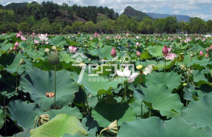 石莲子图片:石莲子种植基地