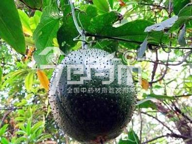 木鳖子种植技术与管理以及木鳖子图片