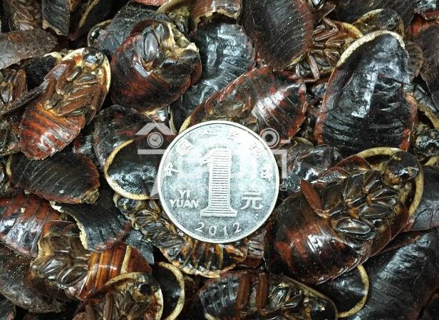土鳖虫的功效与作用以及土鳖虫图片