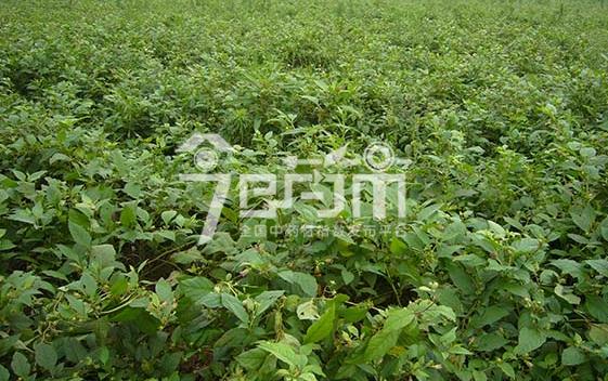 颠茄草的种植技术与管理以及颠茄草图片