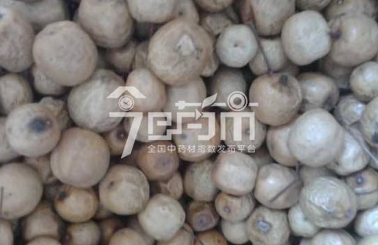 川楝子育苗技术与川楝子图片